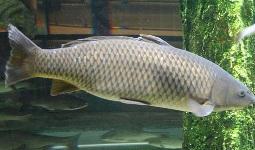 Предположительно число этих рыб составляет не более 200-500 экземпляров.