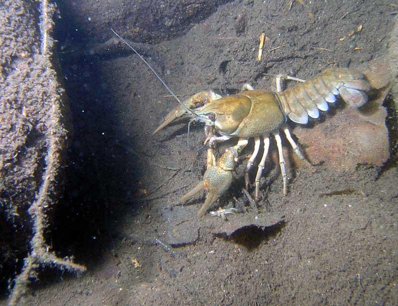ловля раков под водой
